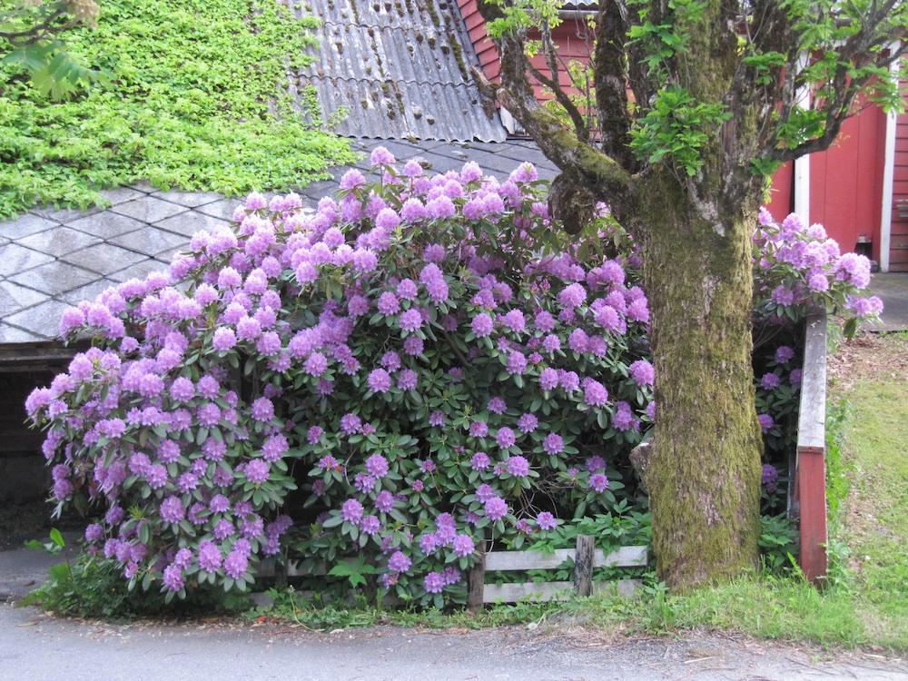 flytte rhododendron var